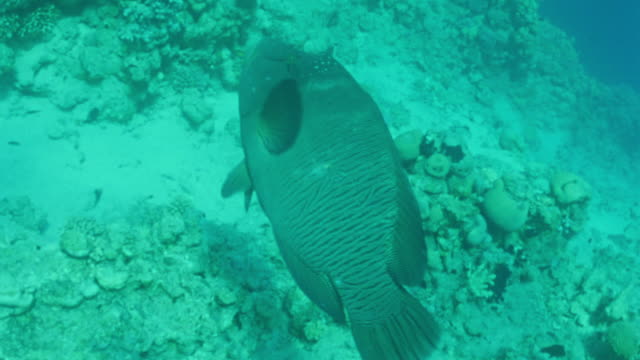 ms ts large napoleon fish / egypt - medium group of animals stock videos & royalty-free footage