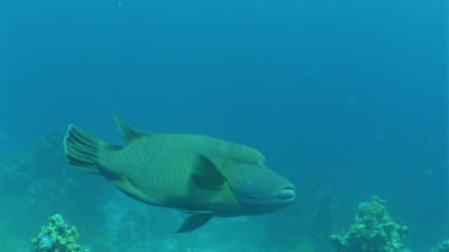 ms large napoleon fish / egypt - wrasse stock videos & royalty-free footage