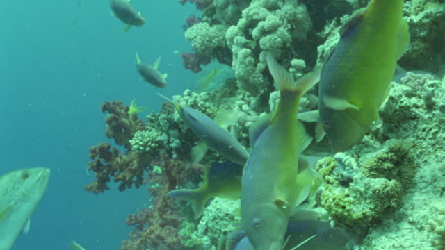 vídeos y material grabado en eventos de stock de ms large napoleon fish / egypt - lábrido