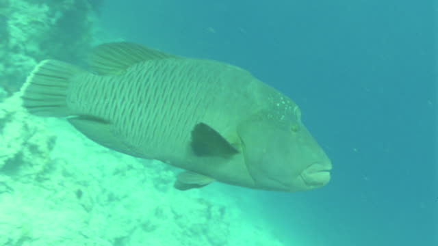 ms large napoleon fish / egypt - humphead wrasse stock videos & royalty-free footage