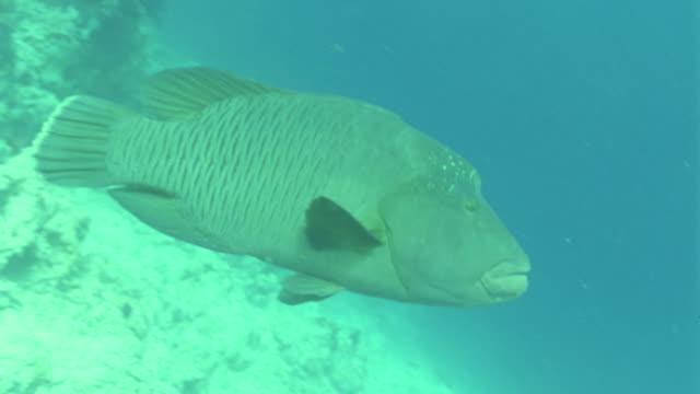MS Large napoleon fish / Egypt