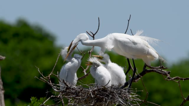 large nestling great egret being fed at the high island rookery - egret stock videos & royalty-free footage