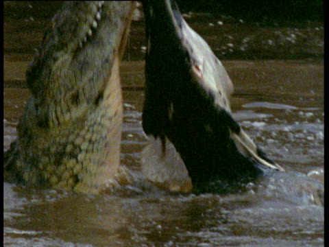 Large Nile crocodile rips chunk of flesh from young wildebeest carcass, Kenya