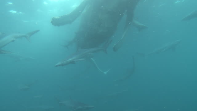 large number of blue sharks gathering around carcass of humpback whale - dead animal stock videos & royalty-free footage