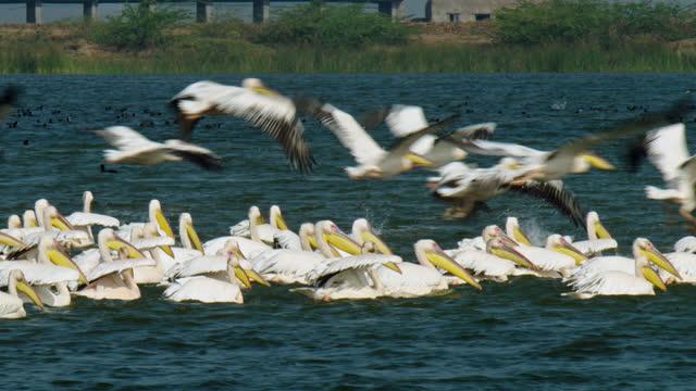 vídeos y material grabado en eventos de stock de a large number of pelicans flying overhead a flock of pelicans - medium shot - medium group of animals