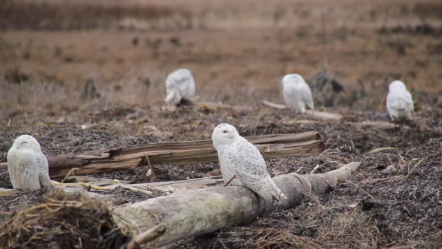 large number of snowy owls grooming. - audio available stock videos & royalty-free footage