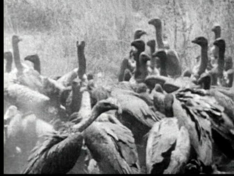 large number of vultures crowed together on ground feeding on carcass. they fly away revealing skeleton picked clean - anno 1925 video stock e b–roll