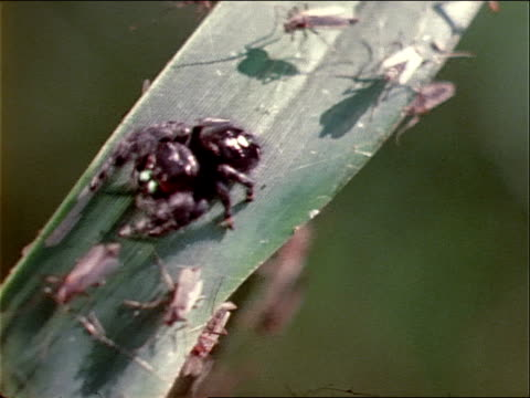 a large number of winged insects surround a spider on a grass blade. - invertebrate stock videos & royalty-free footage
