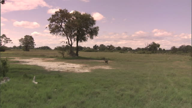 WS Large Okavango Delta plain w/ grass amp trees amp Chacma Baboons on field trees in distant BG Wildlife monkey aka Okavango Swamp