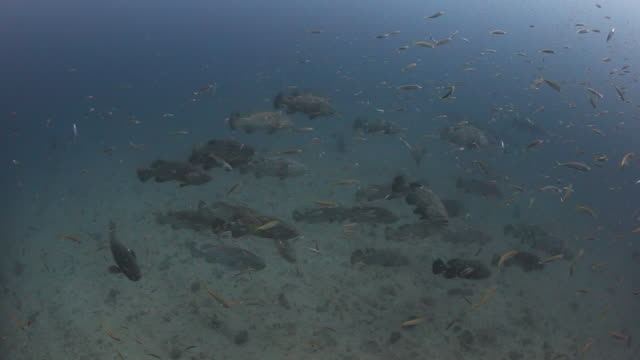 a large pack of goliath grouper begin to aggregate - grouper stock videos & royalty-free footage