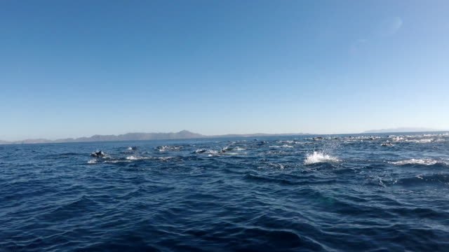 large pod of common dolphins on the move, pacific ocean, baja california, mexico. - rückenflosse stock-videos und b-roll-filmmaterial