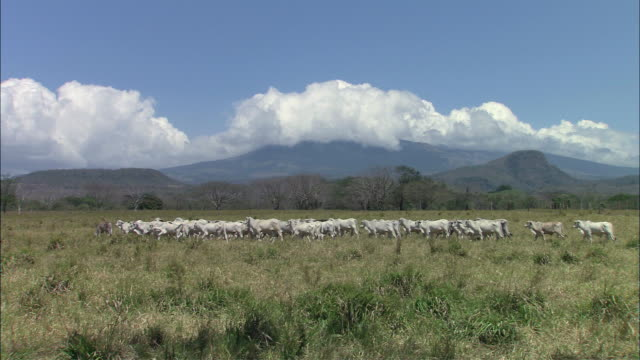 WS Large pod of cow walking on grass field / Guanacaste, Costa Rica