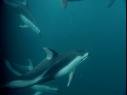 a large pod of dolphins swims in telegraph cove, british columbia. - cetacea stock videos & royalty-free footage