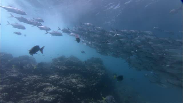 vidéos et rushes de ms large pod of jacks swimming / guanacaste, costa rica - groupe de mammifères marins