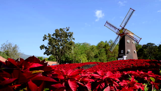 Large poinsettia and old windmill time-lapse