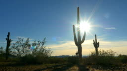 Large prickly cactuses in vast rocky desert in sunny summer