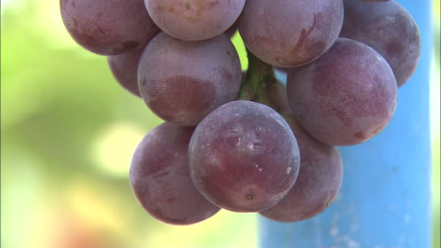 stockvideo's en b-roll-footage met large purple grapes cover a vine. - sappig