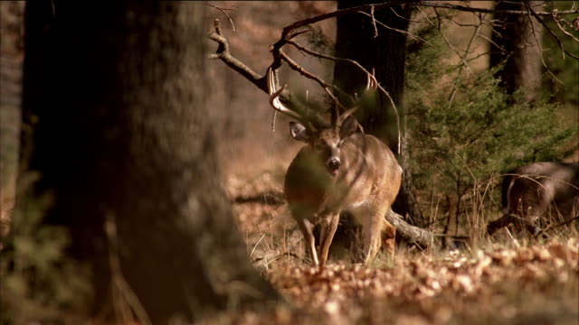A large racked buck and a doe deer stand in a forest.
