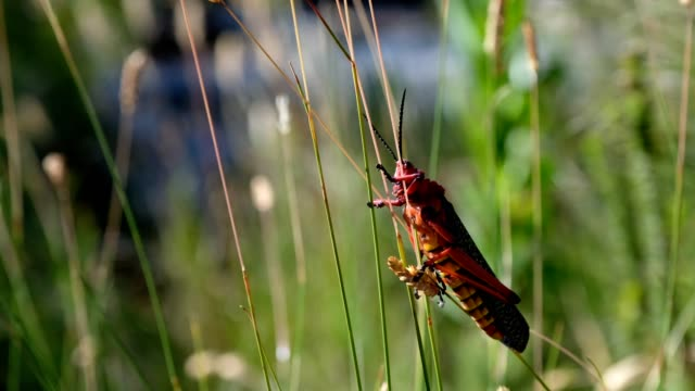 large red grasshopper - animal antenna stock videos & royalty-free footage