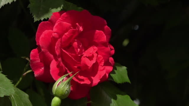 large red rosebud against thicket of leaves - copse stock videos and b-roll footage