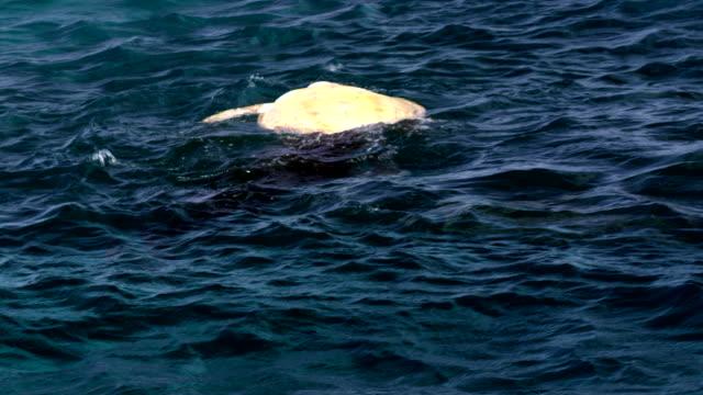 large reef shark feeding off dead sea turtle on top of water - green turtle stock videos & royalty-free footage