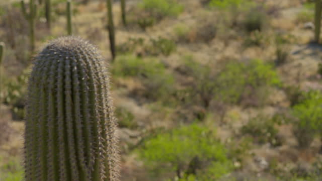 Large Saguaro cactus -- pan to group of several more cactus in desert