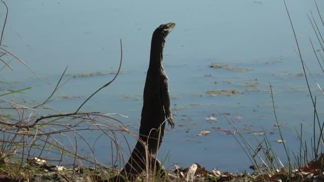 large sand goanna - reptile stock videos & royalty-free footage
