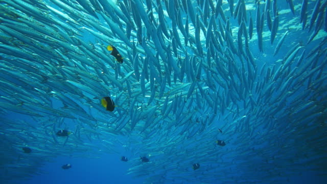 large school of barracudas close to the surface, underwater shot - barracuda stock videos & royalty-free footage