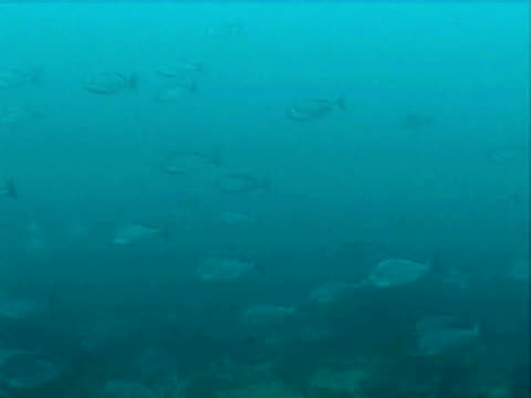 vidéos et rushes de large school of bream swimming together,  blue water - groupe moyen d'animaux