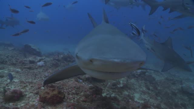 Large school of Bull sharks feeding on chum