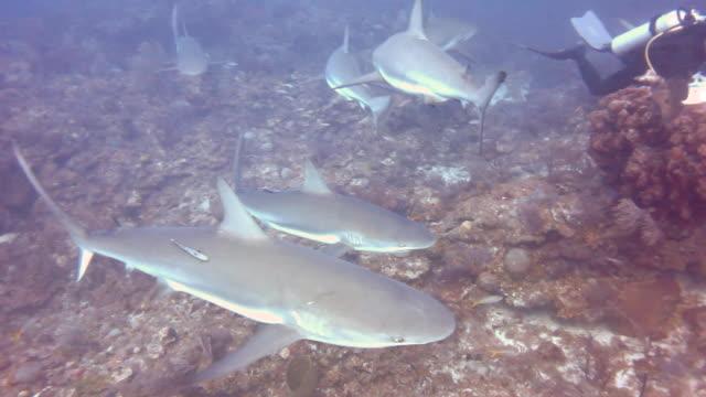 vídeos de stock, filmes e b-roll de a large school of caribbean reef sharks patrolling the reefs of the gardens of the queens national park in southern cuba. - ponto de vista de mergulhador