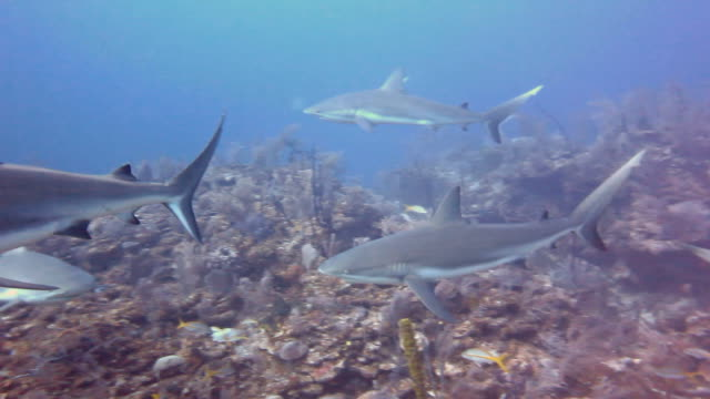 a large school of caribbean reef sharks patrolling the reefs of the gardens of the queens national park in southern cuba. - ペレスメジロザメ点の映像素材/bロール