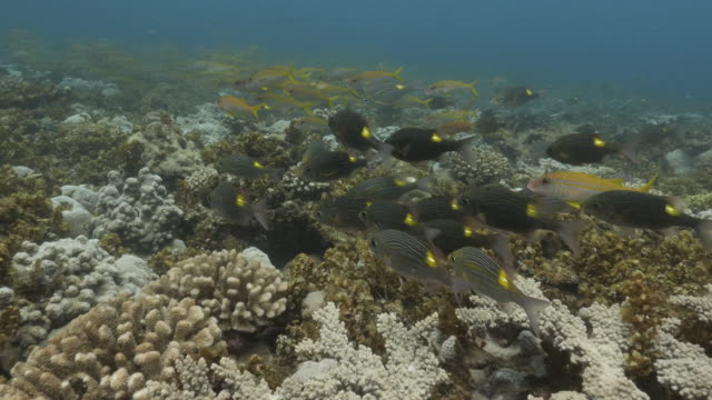large school of coral fish swimming at undersea reef in japan - triglia tropicale video stock e b–roll