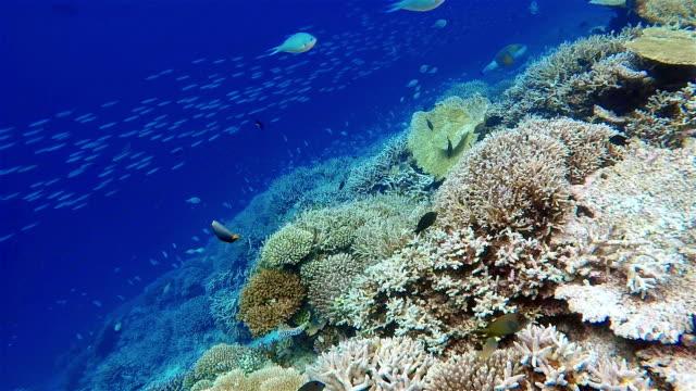 large school of damselfish on coral reef / maldives - ari atoll stock videos & royalty-free footage
