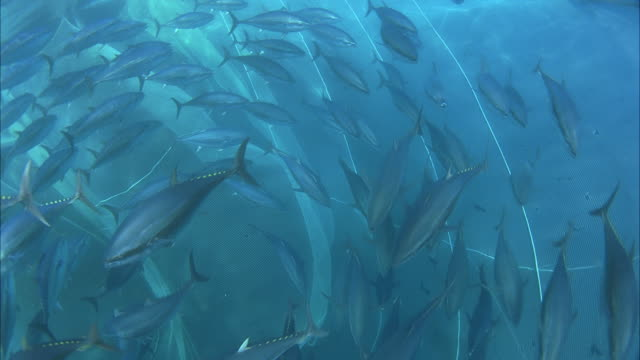 MS SLO MO Large school of fish swims in clockwise circle inside net / Moorea, Tahiti, French Polynesia