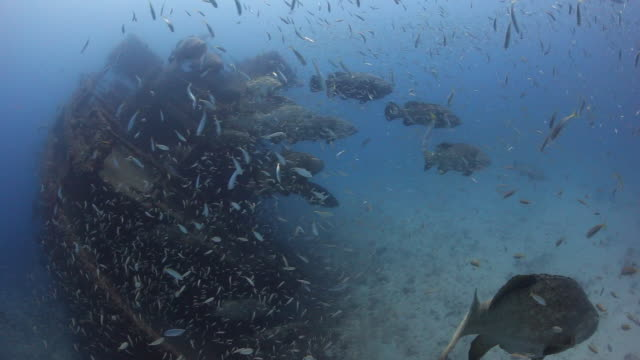 a large school of goliath grouper & bait fish gather around the stern of the mv castor - フロリダ州点の映像素材/bロール