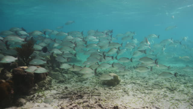 large school of grunt fish - grunzer stock-videos und b-roll-filmmaterial