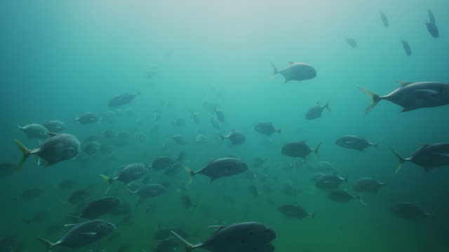 large school of horse eye jack fish - tropical fish stock videos & royalty-free footage