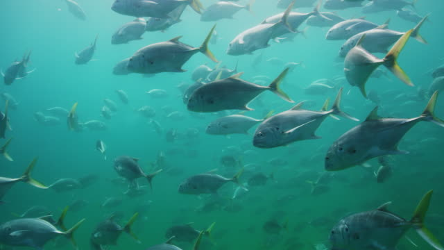 large school of horse eye jack fish - tropischer fisch stock-videos und b-roll-filmmaterial