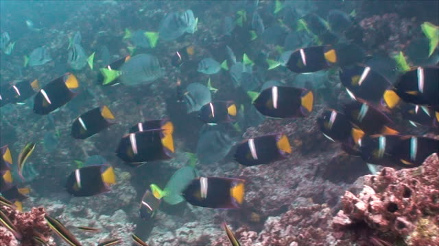 large school of king angelfish and surgeonfish feeding on the coral reef, galapagos islands, ecuador. - angelfish stock videos & royalty-free footage