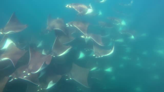 large school of munk's mobula rays, mobula munkiana, swim past the camera, sea of cortes, baja california, mexico. - cabo san lucas stock videos & royalty-free footage