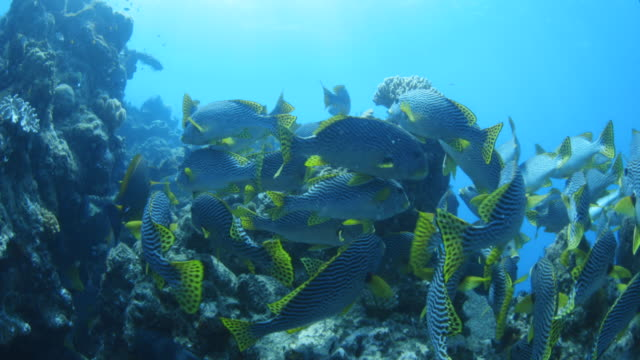 large school of oblique banded sweetlips swimming on reef - sweetlips stock videos & royalty-free footage