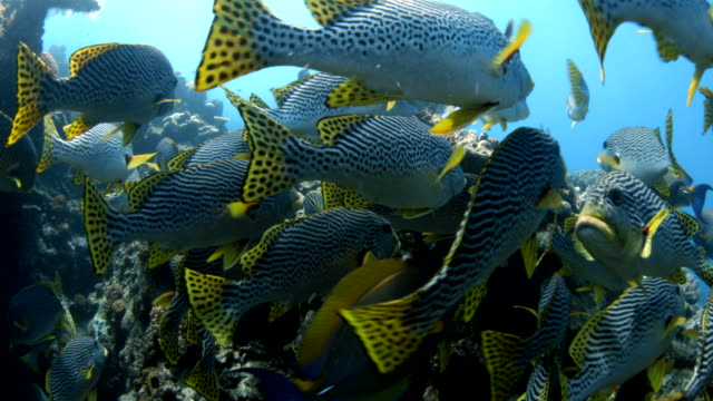 large school of oblique banded sweetlips swimming on reef - school of fish stock videos & royalty-free footage