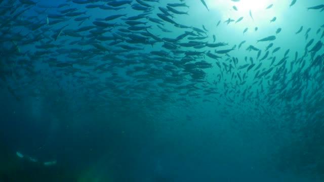 vídeos de stock e filmes b-roll de large school of reef fish swimming covered sea water surface - cardume de peixes
