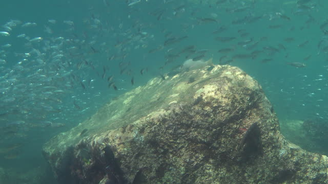 a large school of silver fish swims in sun-dappled waters. - bait ball stock videos & royalty-free footage