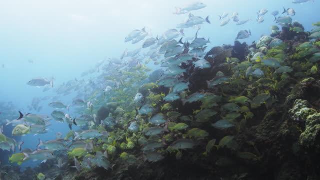 vídeos de stock e filmes b-roll de large school of snapper fish - lutjanídeo