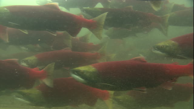 a large school of sockeye salmon swim in a river. available in hd. - salmon stock videos & royalty-free footage