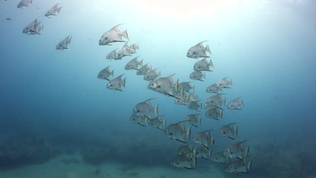 a large school of spadefish, key largo florida - large group of animals stock videos and b-roll footage