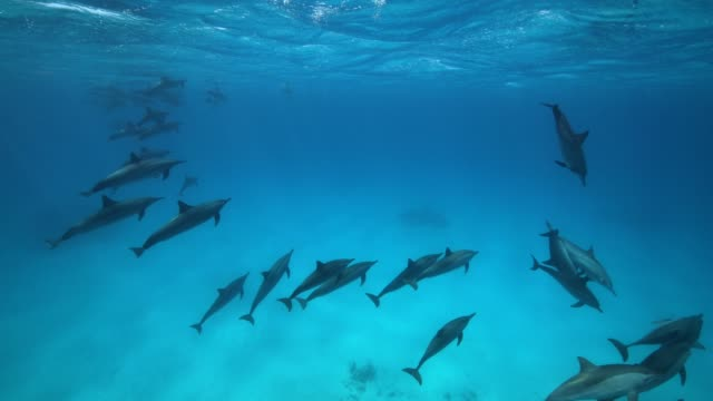 A large school of spinner dolphins swim at the surface of the water