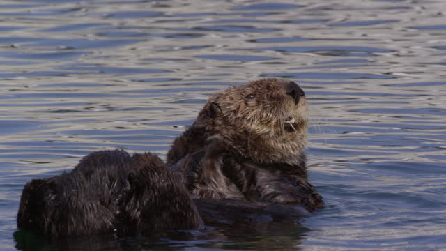 vídeos y material grabado en eventos de stock de ms large sea otter pup energetically grooming its face - parte del cuerpo animal